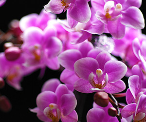 敬老の日にマイクロ胡蝶蘭