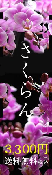 母の日に人気のマイクロ胡蝶蘭